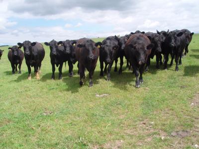 Eversfield Angus steers